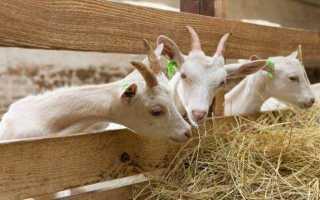 Как правильно кормить козу зимой: составление рациона, основные правила