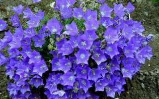 Кампанелла цветок