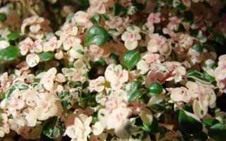 Пилея мелколистная: описание и выращивание растения
