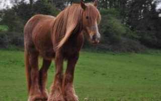 Описание владимирской породы лошадей
